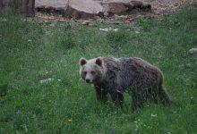 Bear watching slovenia (10)