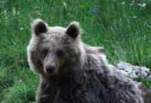 Bear watching slovenia (6)