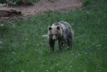 Bear watching slovenia (1)