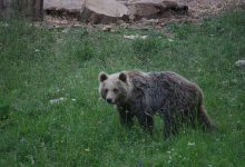 Bear watching slovenia (10)