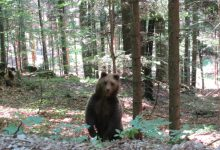 Bear watching slovenia (7)