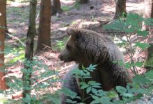 Bear watching slovenia (8)