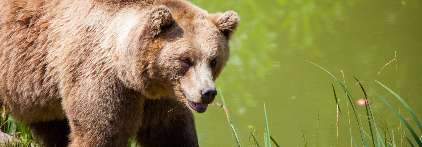 free_bear-bavarian-bear-wild-brown-bear-162340